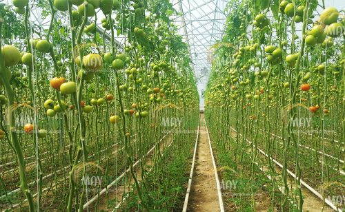 Topraklı domates sera kurulumu | Topraklı Domates Sera Maliyeti | Topraklı domates Sera Fiyatı | MAYSERA