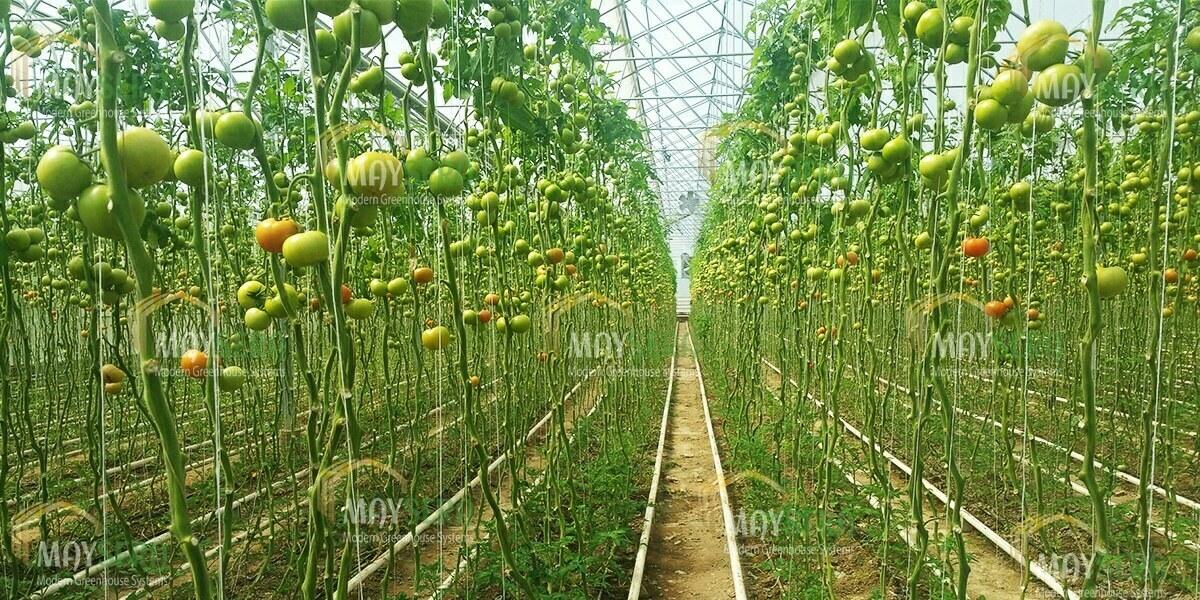 Topraklı Domates Serası Kurulumu | Özbekistan topraklı domates sera kurulumu | MAYSERA